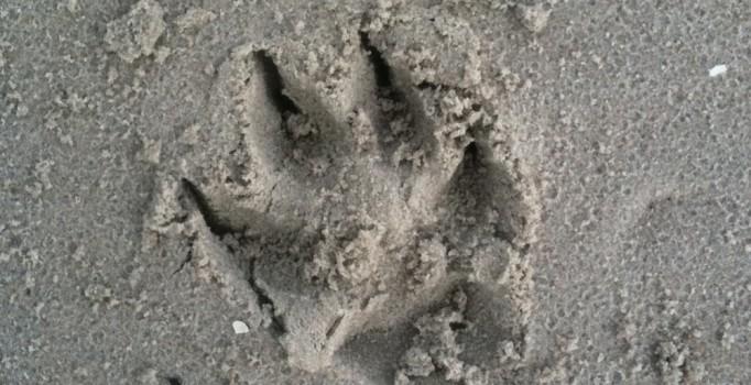 Hundespur im Sand - Ostholstein am Meer