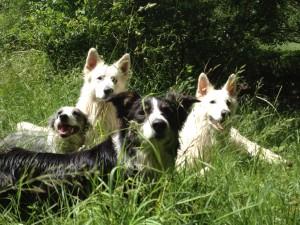 Hunderudel mit Gasthunden am Waldrand
