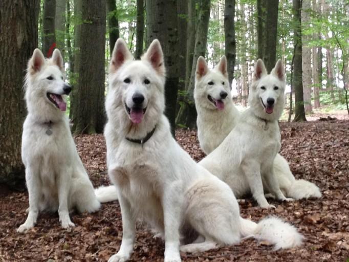 Weisse Schäferhunde - Rudel